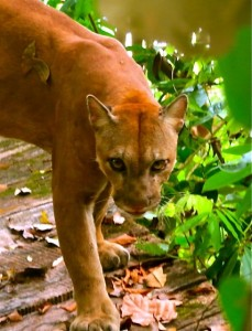 Pumas can be frequently seen in Corcovado national park Osa Peninsula while hiking