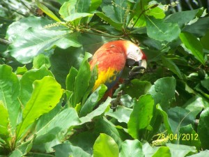 Scarlet Macaws visit the property daily